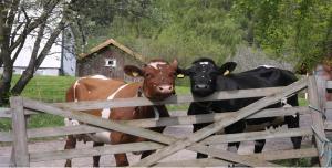 Kyr og grind